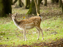 Female fallow deer Royalty Free Stock Photo
