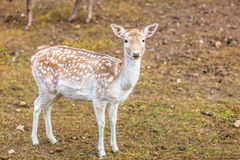 Female fallow deer doe at park Royalty Free Stock Image