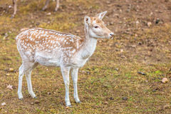 Female fallow deer doe at park Royalty Free Stock Photography