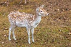 Female fallow deer doe at park Royalty Free Stock Images