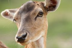 Female fallow deer face Royalty Free Stock Image