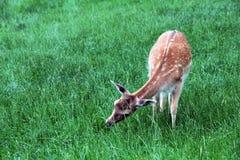 A female fallow deer grazing Stock Photos
