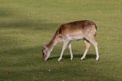 Female Fallow deer grazing Stock Photography