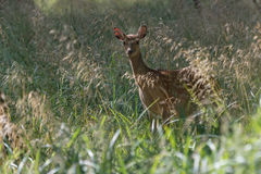 A female fallow deer in Jaegersborg Dyrehave. A nature reserve near Copenhagen in Denmark royalty free stock photo