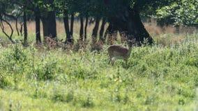 A female fallow deer in Jaegersborg Dyrehave. A nature reserve near Copenhagen in Denmark stock image