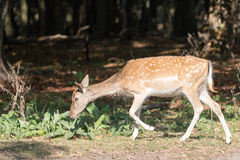 Female Fallow deer Royalty Free Stock Photography
