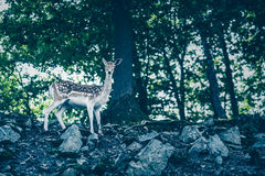 Female fallow deer on rocks Royalty Free Stock Image
