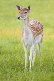 Female Fallow Deer - vertical image Royalty Free Stock Photo