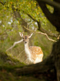 Female fallow deer in the Waterleidingduinen, The Netherlands Royalty Free Stock Photos