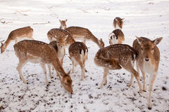 Female fallow deer and young animals in winter time Royalty Free Stock Photo