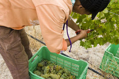 Female farm worker harvesting grapes Royalty Free Stock Photos