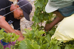 Female farm workers harvesting grapes Royalty Free Stock Image