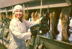 Female farmer in barn with cow milking machines Stock Images