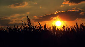 Female Farmer in Cultivated Agricultural Wheat Field in Sunset stock video footage