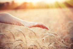 Female farmer hand over wheat field Stock Image