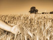 Female farmer hands touch ear of barley to observe progress. Female farmer hands gently touching ear of barley to observe progress and maturation of grain in royalty free stock photo