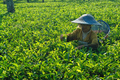 Female farmer harvesting inside tea crop Royalty Free Stock Photography