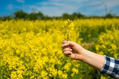 Farmer hold flower. Female farmer hold single flower in hands, close up royalty free stock images