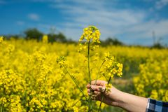 Farmer hold flower. Female farmer hold single flower in hands, close up royalty free stock photo