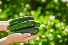 Female farmer holds fresh organic cucumbers in her hands - closeup image.  Royalty Free Stock Photography