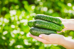 Female farmer holds fresh organic cucumbers in her hands - closeup image.  Royalty Free Stock Photos