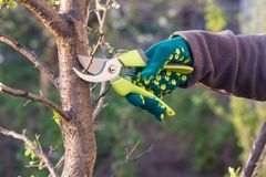Female farmer with pruner shears the tips of plum tree. Female farmer look after the garden. Spring pruning of plum tree. Woman with pruner shears the tips of stock photo
