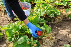 Female farmer are picking red ripe strawberries in plastic bowl. In the garden. Selective focus on hand with berry Royalty Free Stock Photography