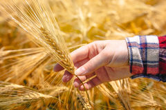 Female farmer's hand in agricultural barley field, responsible f. Arming, responsible farming and crop protection Royalty Free Stock Photography