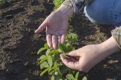 Female farmer`s hands in soybean field Stock Photos