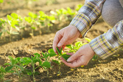 Female farmer's hands in soybean field, responsible farming Royalty Free Stock Photography
