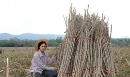 Female farmer sitting with tapioca limb that cut the stack together in the farm royalty free stock photos