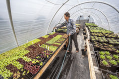 Female farmer tending plants in a greenhouse. Royalty Free Stock Images