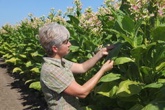 Female farmer in tobacco field Royalty Free Stock Photography