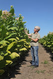 Female farmer in tobacco field Stock Photos