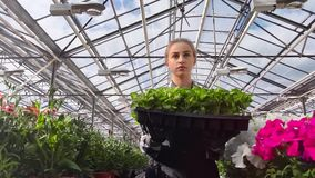 Female farmer walking with seedling box in glass modern greenhouse medium shot low angle. Professional woman agricultural worker surrounded by row of plants stock footage