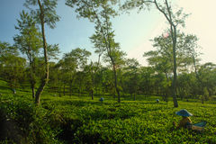 Female farmers harvesting at tea crop landscape Royalty Free Stock Photos