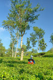 Female farmers harvesting at tea crop landscape Stock Photos