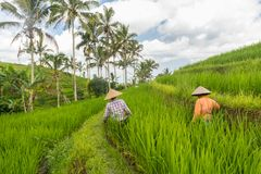 Female farmers working in Jatiluwih rice terrace plantations on Bali, Indonesia, south east Asia. stock photography