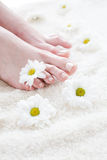 Female feet with white daisies. Stock Photos