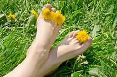 Female feet with flowers on grass. Female feet with yellow dandelion flowers on grass in summer stock images
