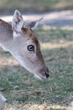 Female Fellow deer. Close up head of female fallow deer Stock Photos