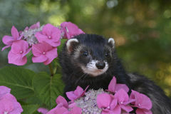 Female ferret near flowers Stock Photos