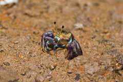 Female fiddler crab royalty free stock photos