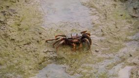 Female fiddler crab eating sand on the mudflats of a beach, crab feeding behavior, tropical crustacean specie. A female fiddler crab eating sand on the mudflats stock footage
