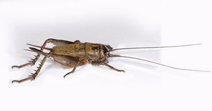 A female field cricket (Gryllus assimilis) Stock Photos