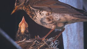Female Fieldfare on the nest stock video footage