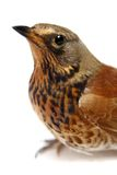 The female Fieldfare on white Stock Images