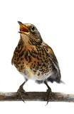 The female Fieldfare on white Stock Image