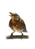 The female Fieldfare on white Stock Photos