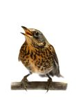 The female Fieldfare on white Stock Photography